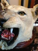 Life-like African Lion Head Mount Call Of The Wilderness