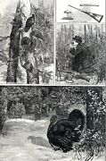 Wild Turkey Hunt 1881 Thanksgiving Hunting Decoys Shooting Antique Print Matted