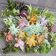 Succulent Mix 40 Assorted Fresh Cuttings All Different Varieties-free Shipping