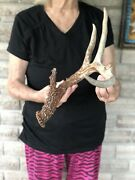 55andrdquo Texas Whitetail Shed 4pt Antler Horn Deer Man Cave Decor Wreath Craft S4