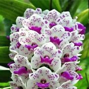 100pcs Seed White With Purple Spots Orchid Flower Perennial Phalaenopsis