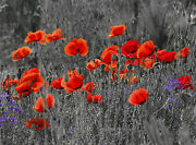 Glass Wall Art Picture Of A Field Of Poppies Red/grey/black 50 X70 Cm Home Decor