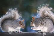 Squirrel Discussion Two Squirrels On A Fence Photo Art Print Poster 18x12 Inch