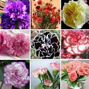 Mixed Colors Carnation Available Seeds Perennial Potted Garden Flowers 100pcs