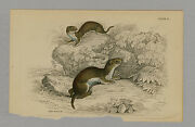 Weasel Hand-colored Print Jardine Naturalists Library 1875