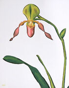 8 X 10 Paphiopedilum Paph Lady Slipper Orchid Flower Oil Painting On Canvas Pink
