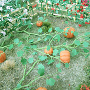 Free Shipping Mp Scenery 30 Pumpkins O Scale Model Farm And Railroad Layout