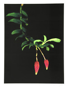 Jonathan Singer Hanging Berries Digital Photograph On Wove Paper Signed And N