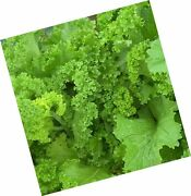 David's Garden Seeds Mustard Greens Southern Giant Curled 3747 Green 500 No...