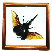 Dynastes Hercules Big Size In A Frame Made Of Expensive Wood