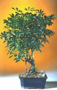 Indoor Hawaiian Umbrella Bonsai Tree 8 Y. Old 8-12 Tall Easy To Care