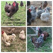 Variety Pack English Orpington 12+ Hatching Chicken Eggs Greenbrier Poultry Npip