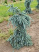 Weeping Colorado Blue Spruce - Picea Pungens And039the Bluesand039 - 2 - Year Plant