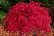 Scarlett Princess Japanese Maple Live Tree Not Seeds - A New Red Variety