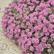 500+dwarf Pink Sweet Alyssum Flower Seeds Groundcover/containers/hanging Baskets