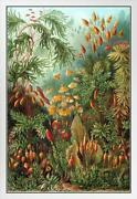 Ernst Haeckel Muscinae Moss Art Forms In Nature White Wood Framed Poster 14x20