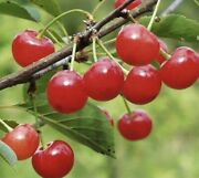 Montmorency Cherry Tree Six Select Stem Cuttings For Rooting And Propagation