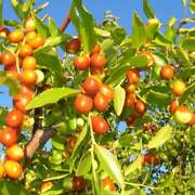 Jujube Treeandnbsp4 Unrooted Cutttings For Grafting 7-8 Inches