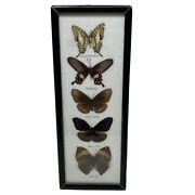 5 Realandnbspmounted Butterflies Black Frame Under Glass Taxidermy Insects Vintage