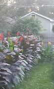 20 Canna Lily Bulbs Red Bloom Reddish Leaves