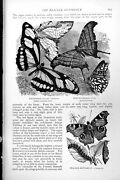 Antique Print Peacock Butterfly Thyondamus Thetis Cocoon Caterpillar C1890 19th