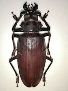 Titanus Giganteus, Scarce Species From French Guiana, 134mm, Prioninae Beetle