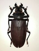 Titanus Giganteus, Scarce Species From French Guiana, 135mm, Prioninae Beetle