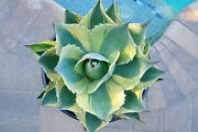 Another Gorgeous Whales Tongue Agave Ovatifolia Orca Variegated 19 Large Plant