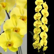 In Spike Japan Grand Champion Phal Golden Apollon And039apolllonand039 Sm/joga Am/aos