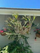 2 Large Staghorn Ferns 15 To 20 Years Old - 5+ Feet