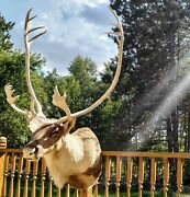Beautiful Peary Caribou Bull Taxidermy Shoulder Mount