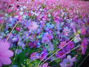 Two Pound Bulk Low Ground Cover 100 Wild Flower Seeds Mix. A Usa Shipped Item