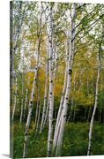 Stand Of White Birch Trees Canvas Wall Art Print, Tree Home Decor