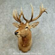 16164 P   South Pacific Red Deer Stag Taxidermy Shoulder Mount For Sale