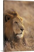 Africa. Male African Lion Canvas Wall Art Print, Lion Home Decor