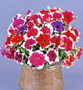 200+petunia Picotee Mix Flower Seeds Hanging Baskets Beds Window Box Containers