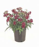 Dianthus Dynasty Double Pellets Rose Lace  1,000 Seeds