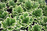 Exotic Frosty Fern Spike Moss Selaginella Home Office Plant Easy To Grow In Pot