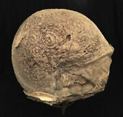 8.2kg Gient Body Molluscs Fossil Without A Shell Full Petrifaction