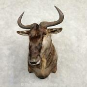 20301 P+   African White-bearded Wildebeest Taxidermy Shoulder Mount For Sale