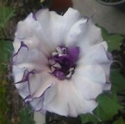Datura Metel Double Purple Fresh Seed - 10 Per Pack Free Shipping