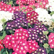 200+verbena Mix Flower Seeds Bright Colorful Groundcover Garden/hanging Baskets