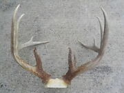 Gorgeous Xxl Giant 155 12 Pt Premium Whitetail Deer Antlers Shed Rack Horn 33