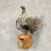 22528 Wc   Greater Sage Grouse Taxidermy Bird Mount