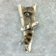 22465 E+   Raccoon Half Life-size Taxidermy Mount For Sale