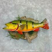 23122 P+ | 36 Peacock Bass Reproduction Taxidermy Mount For Sale