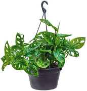 Hardy Monstera Adansonii Swiss Cheese Live Plant Home Garden Easy To Grow 8