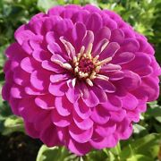 Zinnia Giant Flower Seeds Packet 1 Ounce Purple Red Pink White Yellow Purple Mix