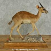16944 P   Suni Antelope Life-size Taxidermy Mount For Sale