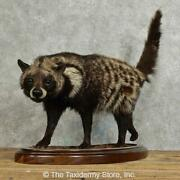 15970 P+ | African Civet Cat Taxidermy Mount For Sale